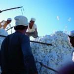 新疆棉企收购压力大价格补贴方式待调整