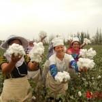 又是一年采花季,万人赴疆采棉花