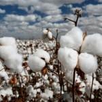 以供给侧结构性改革为主线 提高棉花供给质量
