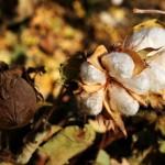 【关键词】:北疆 产量 抗病性 纤维品质 性状