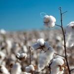 中棉协:4月上旬全国棉花播种进度已达28.6%