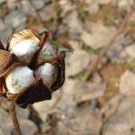 新棉采摘进度超过10%(9月21-25日)