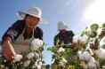 农业部:11月棉花供需形势分析月报