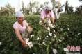 伽师县130万余亩棉花收购工作全面展开