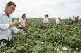 中棉协:内地棉花采收早于去年 交售价格为3元/斤左右
