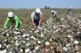兵团当前棉花主要病虫害发生情况和趋势预测