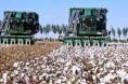 全国棉花种植意向与播种进度的调查