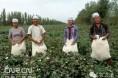 新疆:棉花谢幕,不过泪一场