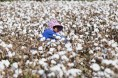 棉花价格或见顶 棉农应快采收早销售