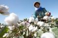 全国棉花采摘进度超过70%